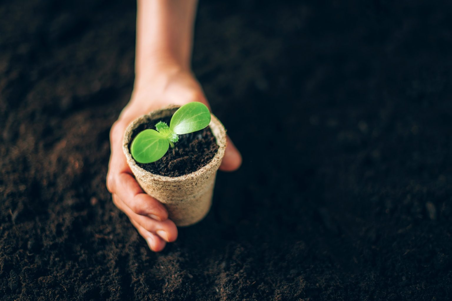 Hand holding potted seedlings growing in biodegradable pots over soil background with copy space